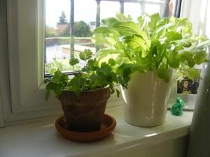 lettuce and cilantro